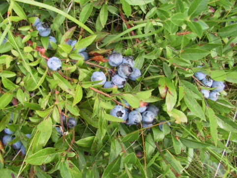 Blueberries are plentiful around Holyrood