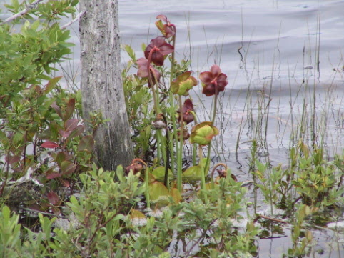 Pitcher Plant in Butterpot pond