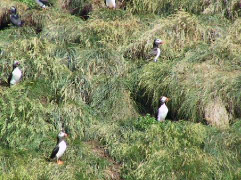 Visitors to the Witless Bay Ecological Reserve can see thousands of puffins