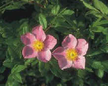 Wild Roses are common in this area.