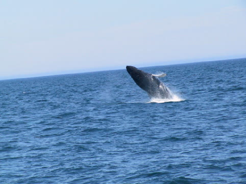 Visitors to Bay Bulls can see many whales in season